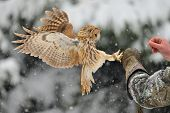 pic of snow owl  - Landing tawny owl on falconry - JPG