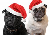 stock photo of christmas dog  - Black and Fawn colored Pugs with christmas santa claus hats on a white background focus on black dog - JPG