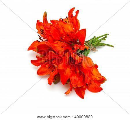 lilly flower