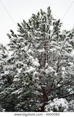 Frozen Pine. Easter Snow Just Fallen
