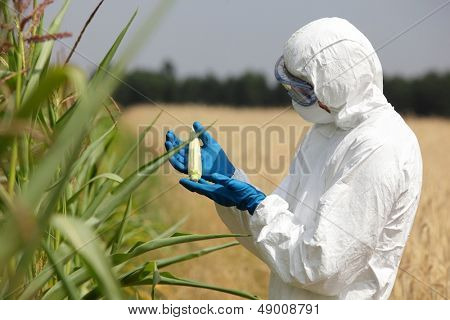 biotechnology engineer  examining immature corn cob on field