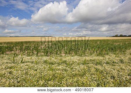 Mayweed Maize And Wheat