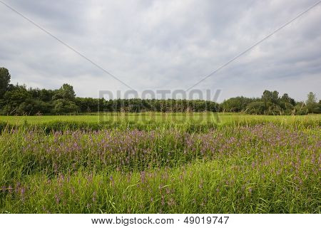 Landscape With Marsh Woundwort