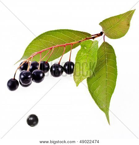 bird cherry branch with hackberry close up isolated on a white background