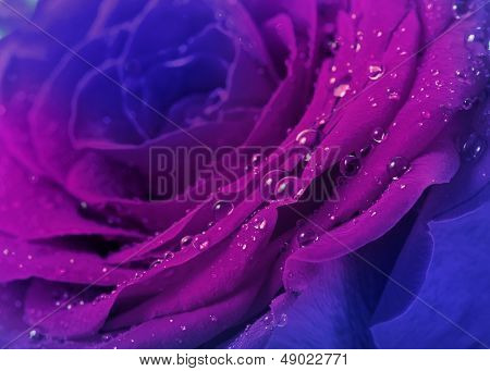 beautiful blue rose with water drops  surface close up background