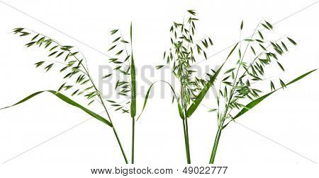 green panicles of field oat set close up isolated on white background