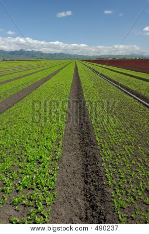 Lettuce Field Landscape: Green Vertical