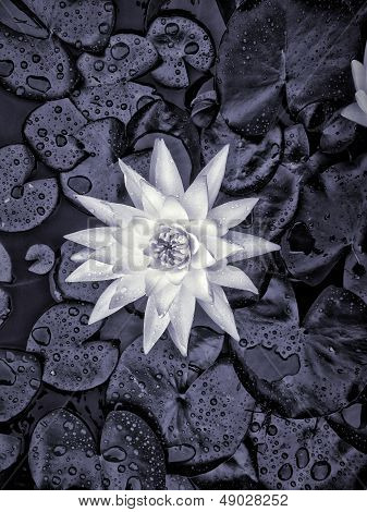Water Lilly in Koi Pond