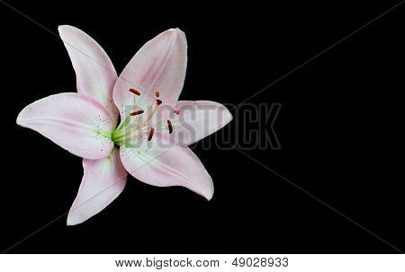 Lilies On Black