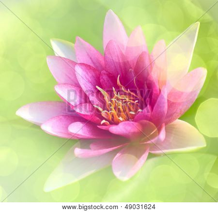 Closeup on pink waterlily
