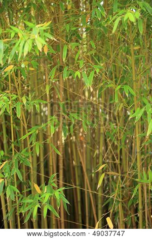 Stand Of Ornamental Bamboo