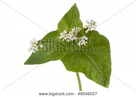 Trigo mourisco de floração em fundo branco