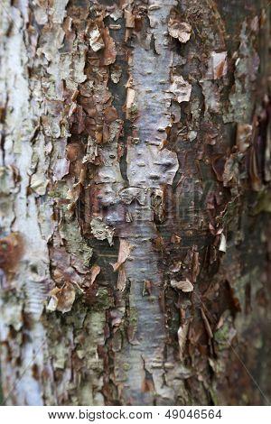 Peeling bark of the Gumbo Limbo tree