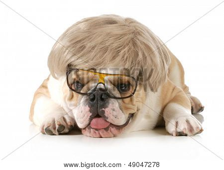 funny dog - english bulldog wearing silly wig and glasses isolated on white background