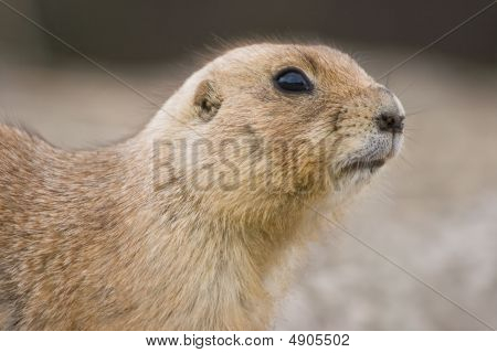 Prairie Dog Looking Watchful