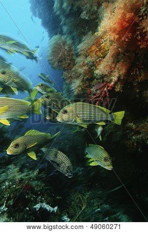 Raja Ampat Indonesia Pacific Ocean school of oriental sweetlips (Plectorhinchus orientalis) congregating in cave below coral reef