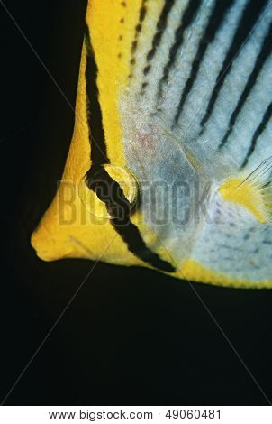 Raja Ampat Indonesia Pacific Ocean spot-tail butterflyfish (Chaetodon ocellicaudus) close-up