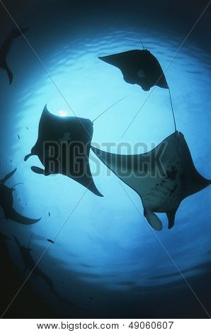Raja Ampat Indonesia Pacific Ocean silhouettes of manta rays (Manta birostris) low angle view