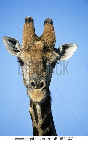 Maasai Giraffe (Giraffa Camelopardalus) close-up