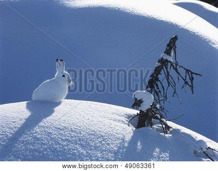 Lebre-ártica