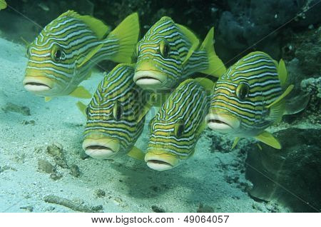 Raja Ampat Indonesia Pacific Ocean oriental sweetlips (Plecorhinchus orientalis) just above ocean floor