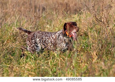 Hunting German Shorthaired Pointer
