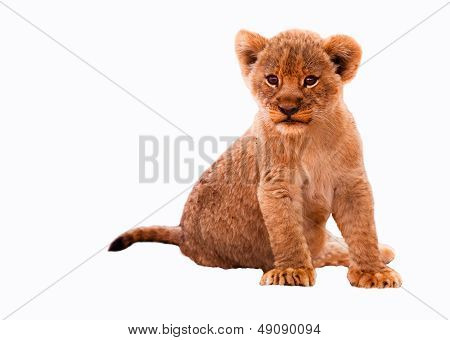 Lion cub isolated on white