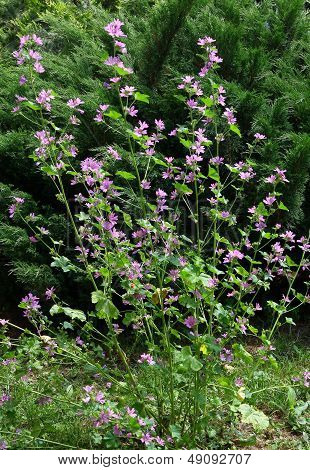 mallow herb in blossom