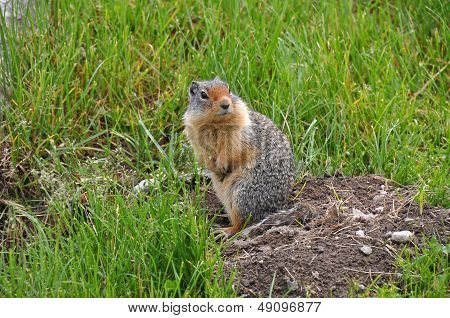 Groundsquirrel Coming Out Of His Hiding Place