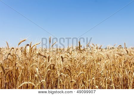 Ripe golden wheat isolated on sky