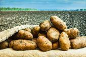 stock photo of root-crops  - Raw potatoes amid the countryside and fields - JPG