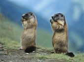 image of marmot  - Two Marmots - JPG