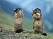 foto of marmot  - Two Marmots - JPG