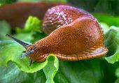 picture of mollusca  - a slug in the garden eating a lettuce leaf - JPG