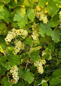 Closeup of white grapes hanging on a grapevine in Alsace vineyards in France