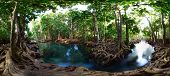 picture of pom poms  - Mangrove trees in a peat swamp forest - JPG