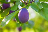 image of orchard  - Ripe plums hanging from a tree in an orchard - JPG