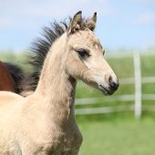 stock photo of pony  - Nice portrait of Welsh mountain pony foal on pasturage - JPG