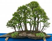stock photo of elm  - Forest with elm bonsai trees  - JPG