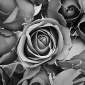 picture of burial  - background of rose black and white effect - JPG