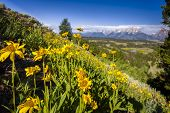 Sunflowers In The Tetons