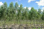 stock photo of eucalyptus trees  - Eucalyptus Plantation For Pulp Paper Industry - JPG