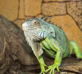 picture of godzilla  - large green lizard sitting on tree bark - JPG