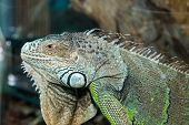 foto of godzilla  - large green lizard sitting on tree bark - JPG