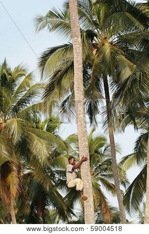African Black Man Climbs Palm Tree.
