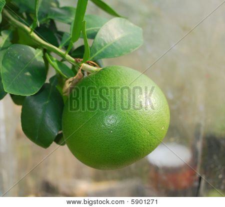 Grapefruit On Tree