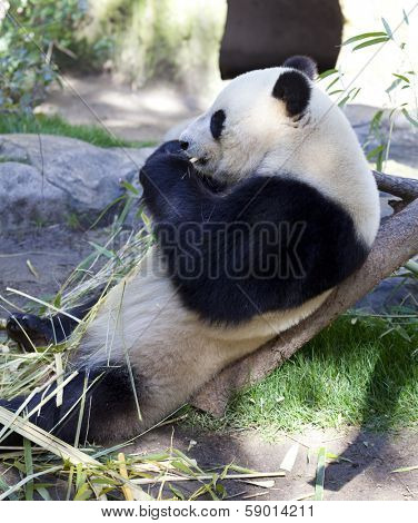 Panda baby Bear eating leafs