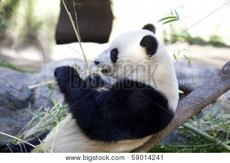 Panda baby Bear eating bamboo