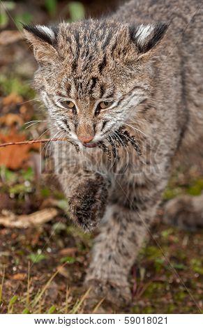 Bobcat Kitten (Lynx rufus) Bites On Grassy Weed