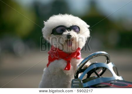 fifi the bichon frise out for a ride